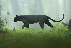 Pic of black panther roaming in Karnataka forest goes viral