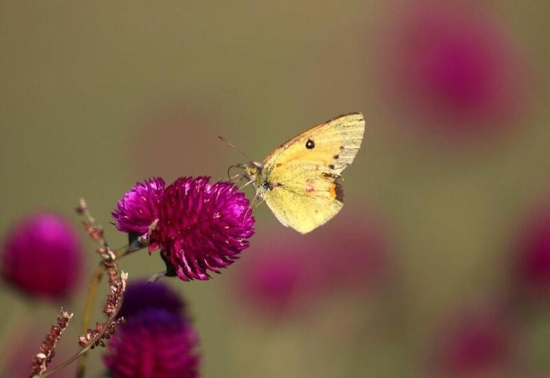 Butterflies and plants evolved in sync: Study