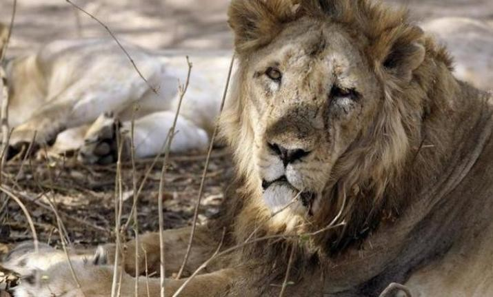 Illegal lion shows still being carried out in Gir's Amreli region