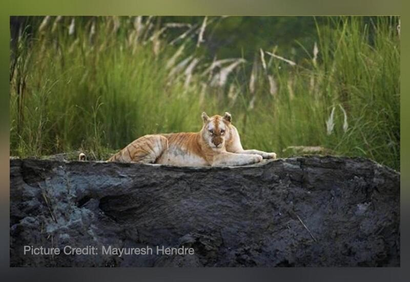 Rare golden tiger spotted in Kaziranga National Park, pics go viral