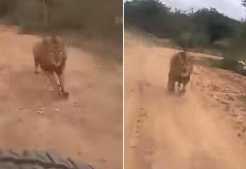 Lion chases tourist safari vehicle inside zoo in Karnataka, video goes viral