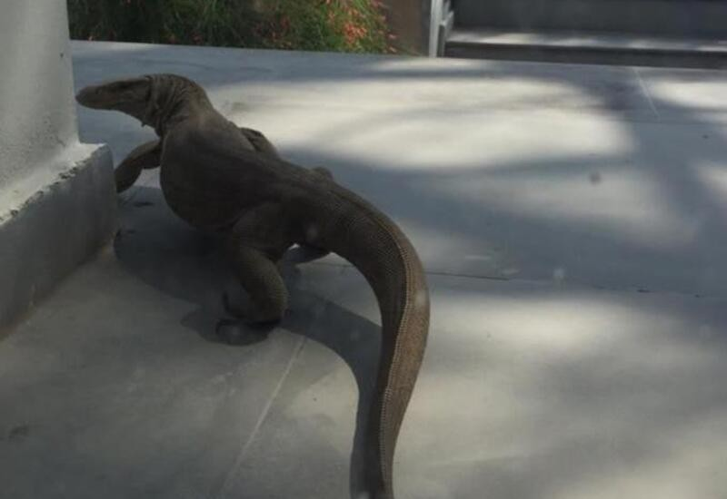 Monitor lizard spotted at a house in Delhi, pic goes viral