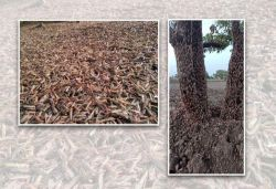 Locusts with 'potential of eating everything' enter MP, IFS officer shares photos