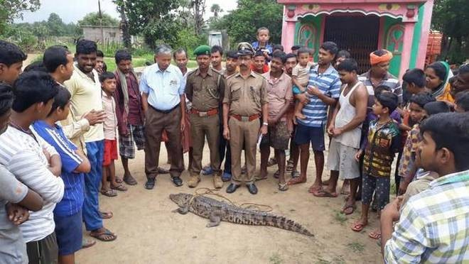 Odisha villagers rescue crocodile