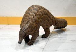 Pangolin rescued from quarantine centre in Odisha, to undergo coronavirus test