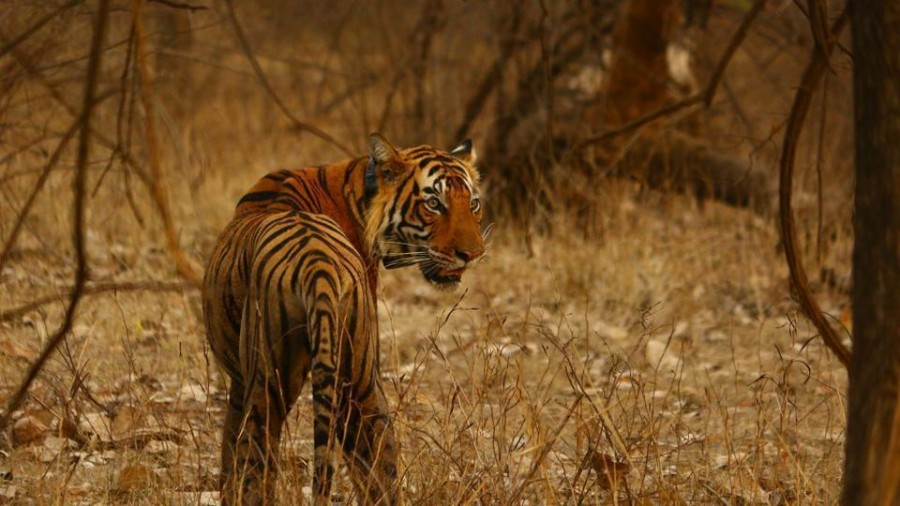 Ranthambore's man-eater tiger, T-104 strikes again, for third kill