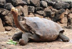 100-year-old tortoise retires after his sex drive helps to save his species