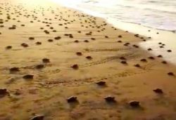 Hundreds of Olive Ridley turtles head to sea after hatching; video surfaces
